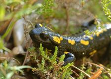 salamander Photo stock