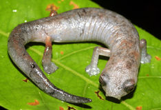 Salamander Royalty-vrije Stock Afbeelding