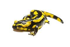salamander Foto de Stock