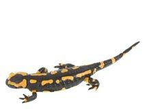 Salamander Imagens de Stock