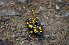 salamander arkivfoton