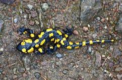 salamander arkivbilder