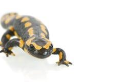 salamander Στοκ Εικόνα