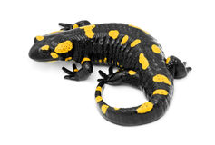 Salamander. Fire salamander isolated on white