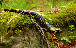 Salamander Stock Photos