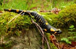 Salamander fotos de archivo