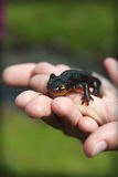 salamander Στοκ Εικόνες
