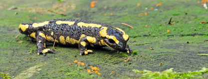 Salamander Royalty Free Stock Photography