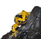 Salamander. Stock Photography