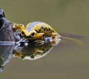 Salamander. Salamander reflected in the water of the pond Stock Photos