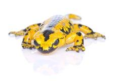 Salamander. Stock Images
