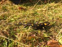 Salamander Immagini Stock