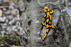 The salamander. A salamander yellow and black, is going up on a tree Royalty Free Stock Photos