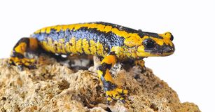 Salamander. Royalty Free Stock Images