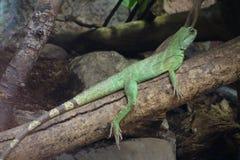 Salamander royalty-vrije stock foto