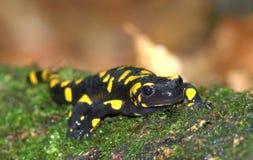 salamander fotografia stock libera da diritti