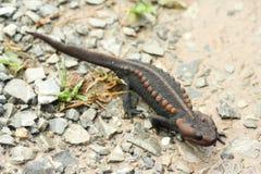 salamander Immagine Stock