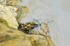 salamander Royalty-vrije Stock Afbeeldingen