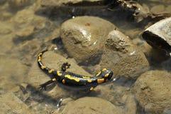 salamander Fotografie Stock