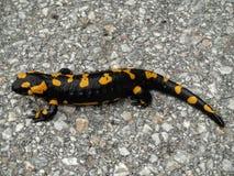 salamander Royalty-vrije Stock Fotografie