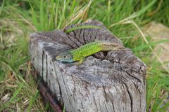 salamander Royaltyfri Fotografi