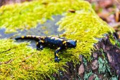 salamander Στοκ εικόνα με δικαίωμα ελεύθερης χρήσης