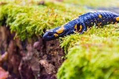 salamander Image libre de droits