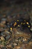 salamander Fotos de archivo libres de regalías