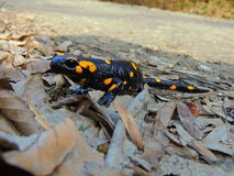 salamander Stockfotografie