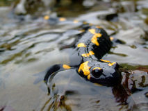Salamander Photographie stock
