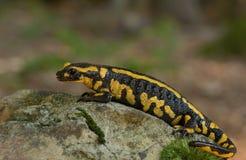 Salamander Stock Image