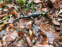 salamander Fotos de Stock