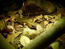 salamander Foto de Stock Royalty Free