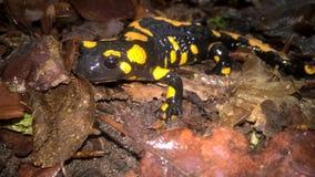 salamander Stockbild