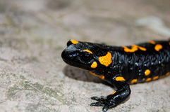 salamander στοκ εικόνες με δικαίωμα ελεύθερης χρήσης