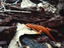 Salamander 2 Stockbild