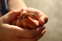 Salamander Back Lit. Boy holding Salamander - Back Lit stock photos