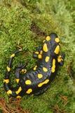 Salamander. Beautiful tailed salamander on moss Stock Images