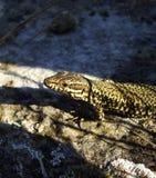 Salamander coloré lumineux au soleil Photo libre de droits