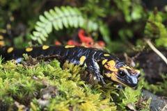 Salamander d'incendie Image libre de droits