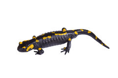 Salamander d'isolement au-dessus du blanc Photographie stock libre de droits