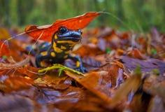 Salamander in Daling stock afbeeldingen