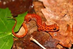 Salamander de caverne (lucifuga d'Eurycea) Images libres de droits