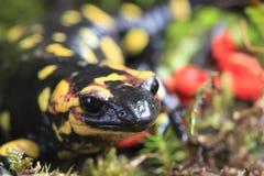 Salamander de fuego Foto de archivo libre de regalías