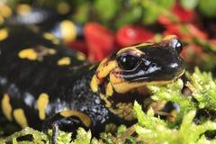Salamander de fuego Fotografía de archivo libre de regalías