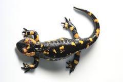 Salamander de fuego Foto de archivo