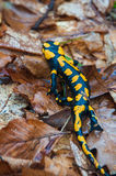 Salamander de fuego Fotos de archivo libres de regalías