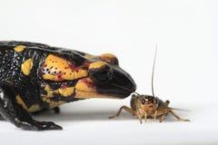 Salamander de fuego que come un grillo marrón Foto de archivo libre de regalías
