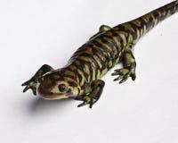 Salamander de tigre Fotografia de Stock