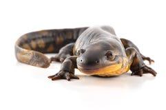 Salamander de tigre Imagem de Stock